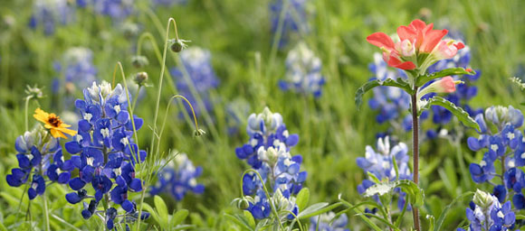 texas wildflowers bluebonnets indian paintbrush Austin, Texas: A Photographic Portrait Book Signing   May 12th, 2012
